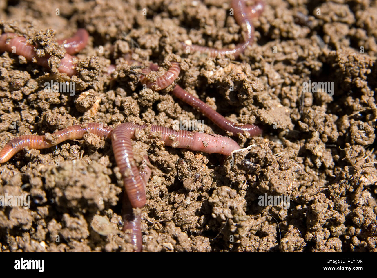 composting worms burrowing through the dirt in the garden - Stock Image