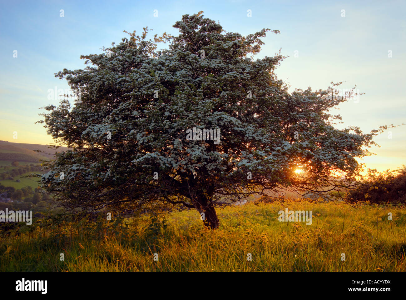 Hawthorn tree in flower at sunset in Derbyshire 'Great Britain' - Stock Image