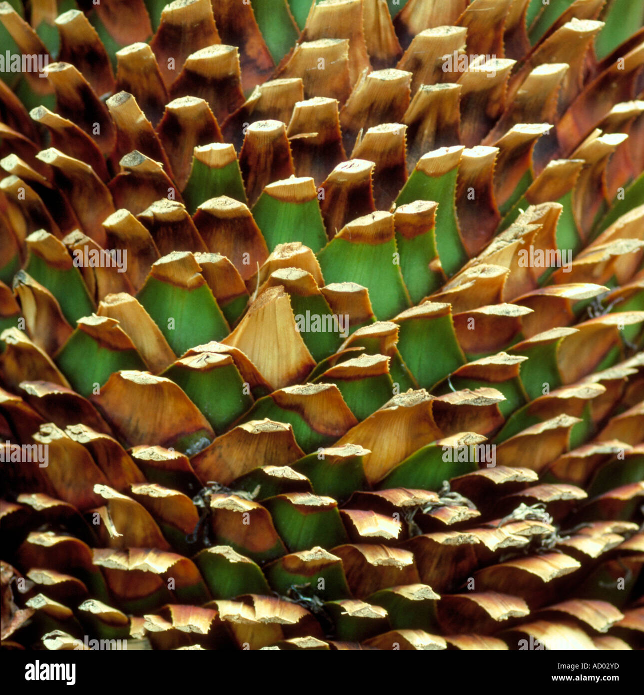 Detail of a Palm Tree with Trimmed Leaves - Stock Image