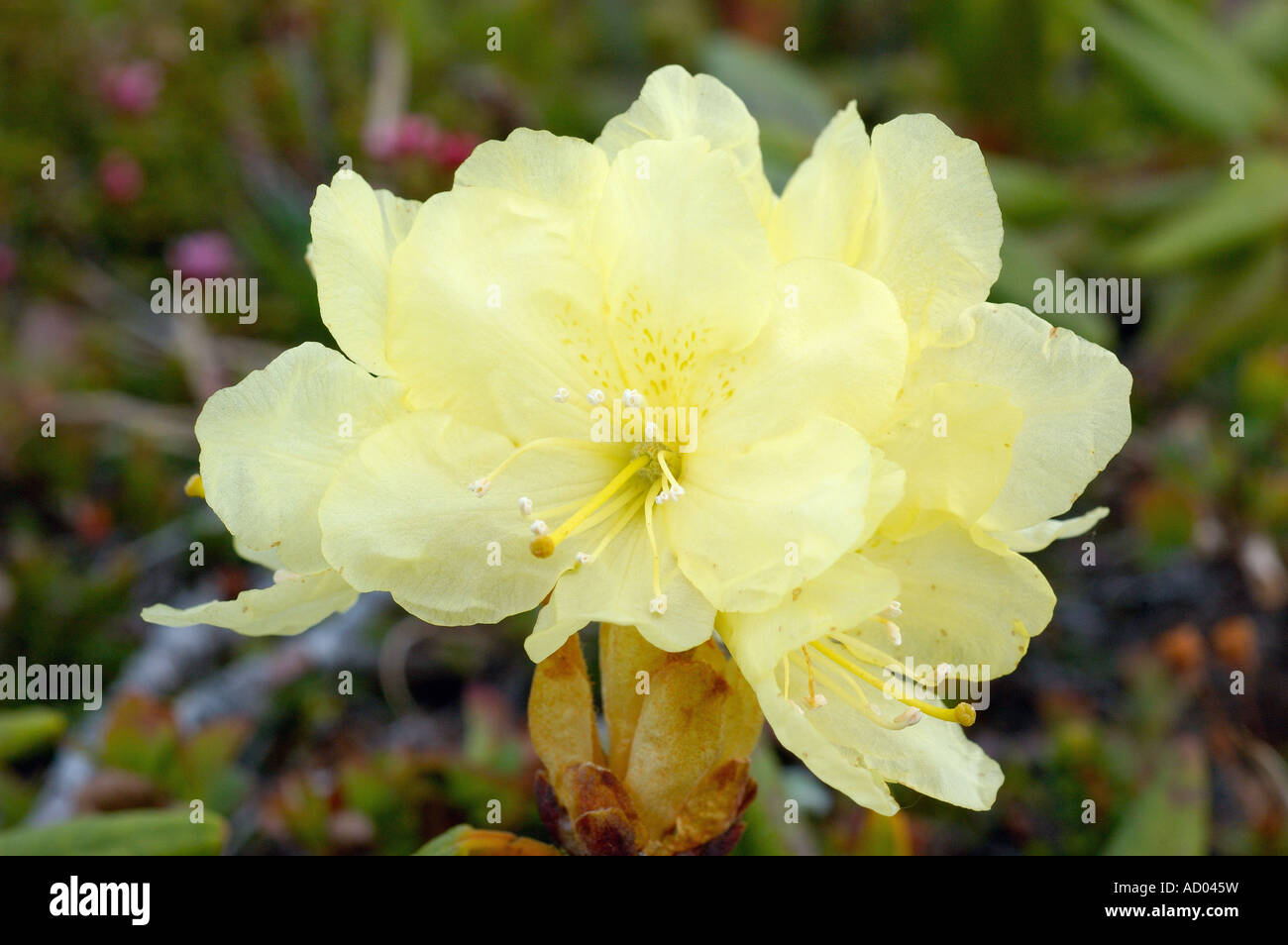 Attractive Yellow Flower Of Rhododendron Rhododendron Aureum Growing