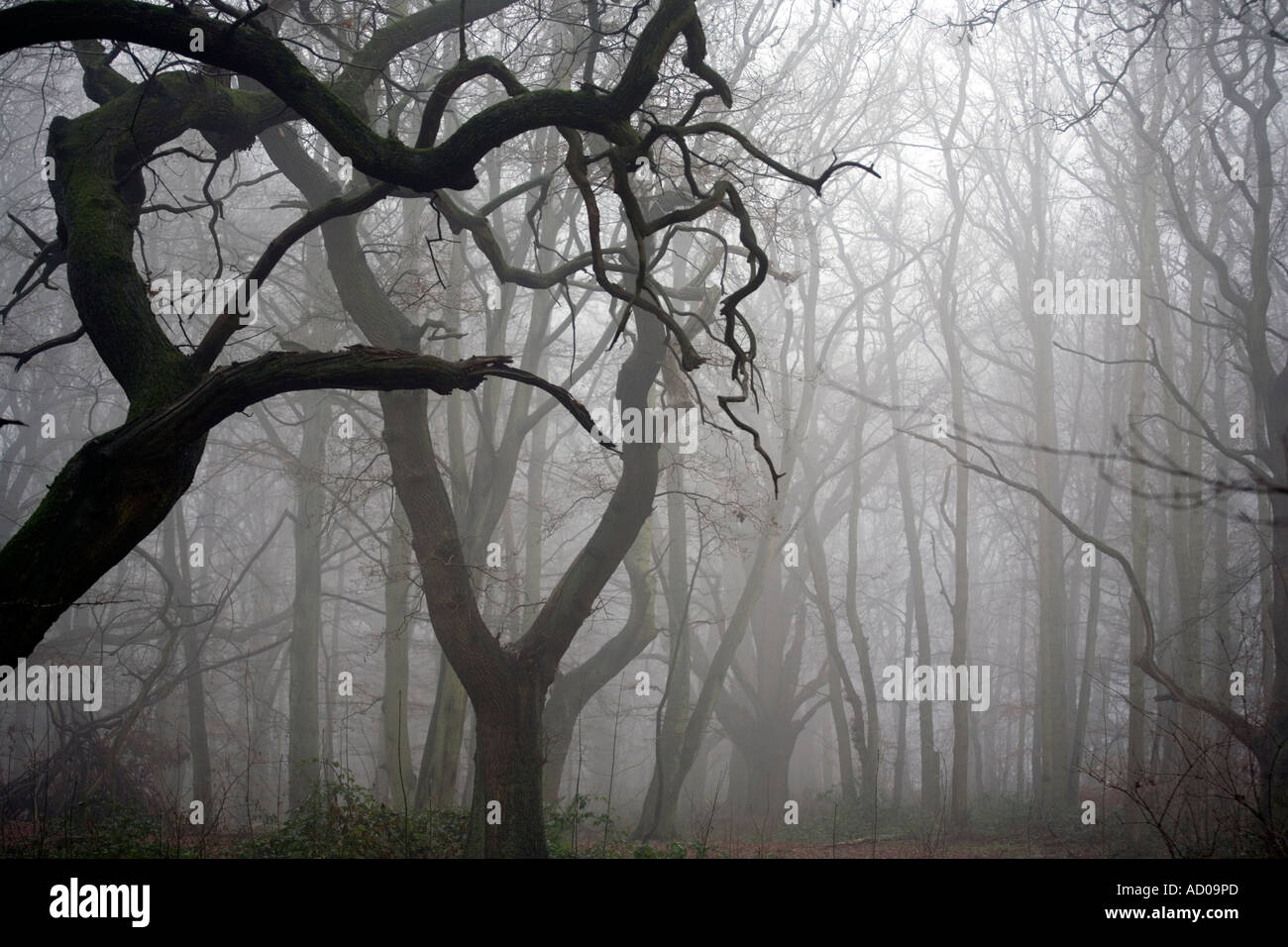 Hanbury Woods in December in Worcestershire UK - Stock Image