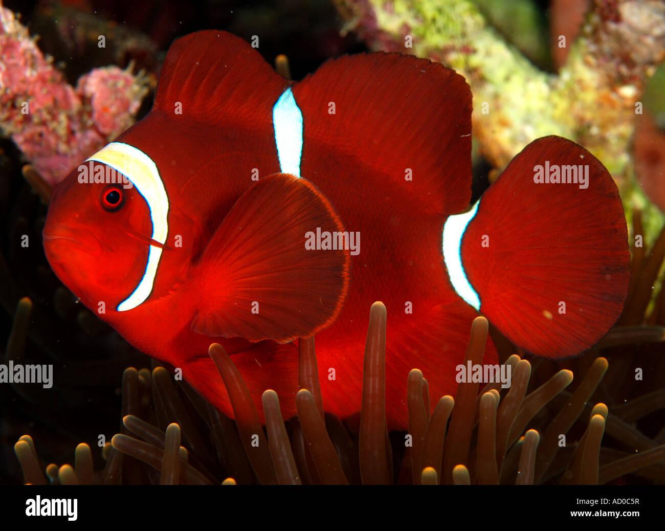 clown fish, anemone fish, anemone, underwater, Indonesia, Siladen ...