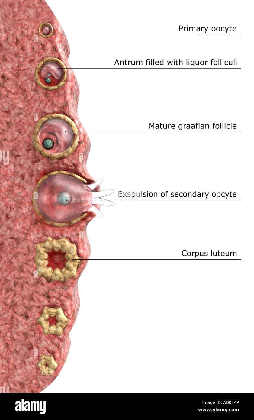 Mature graafian follicle diagram