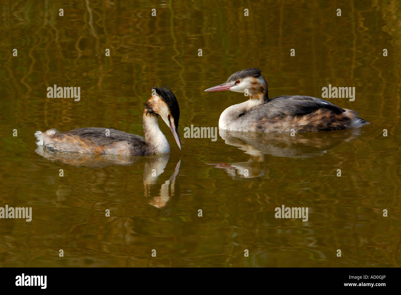 Pair of Great Crested Grebes Podiceps cristatus floating on a lake in side profile - Stock Image
