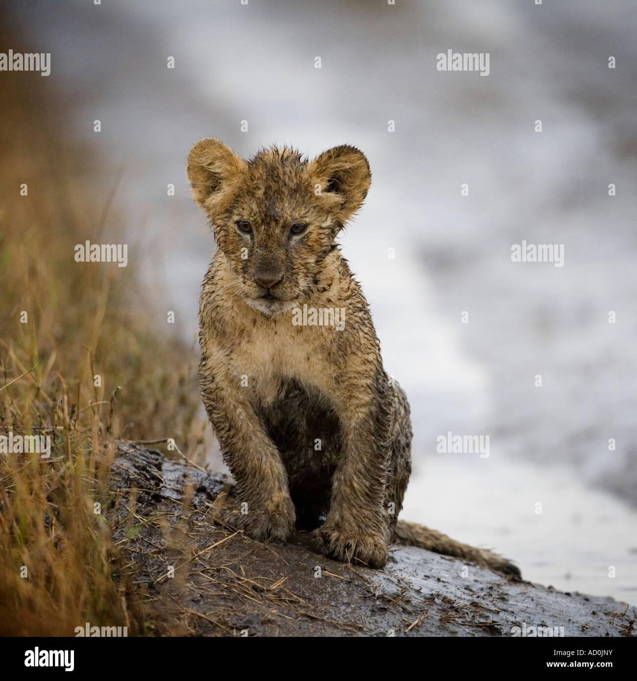 Africa Kenya Masai Mara Game Reserve Lion cub Panthera leo sitting covered in mud while playing in rain storm Stock Photo