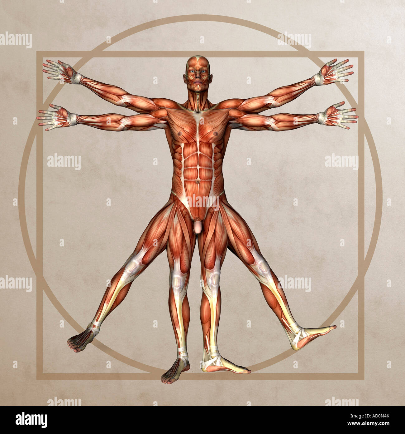 anatomy graphic in the style of lenoardo davincis Vitruvian Man ...