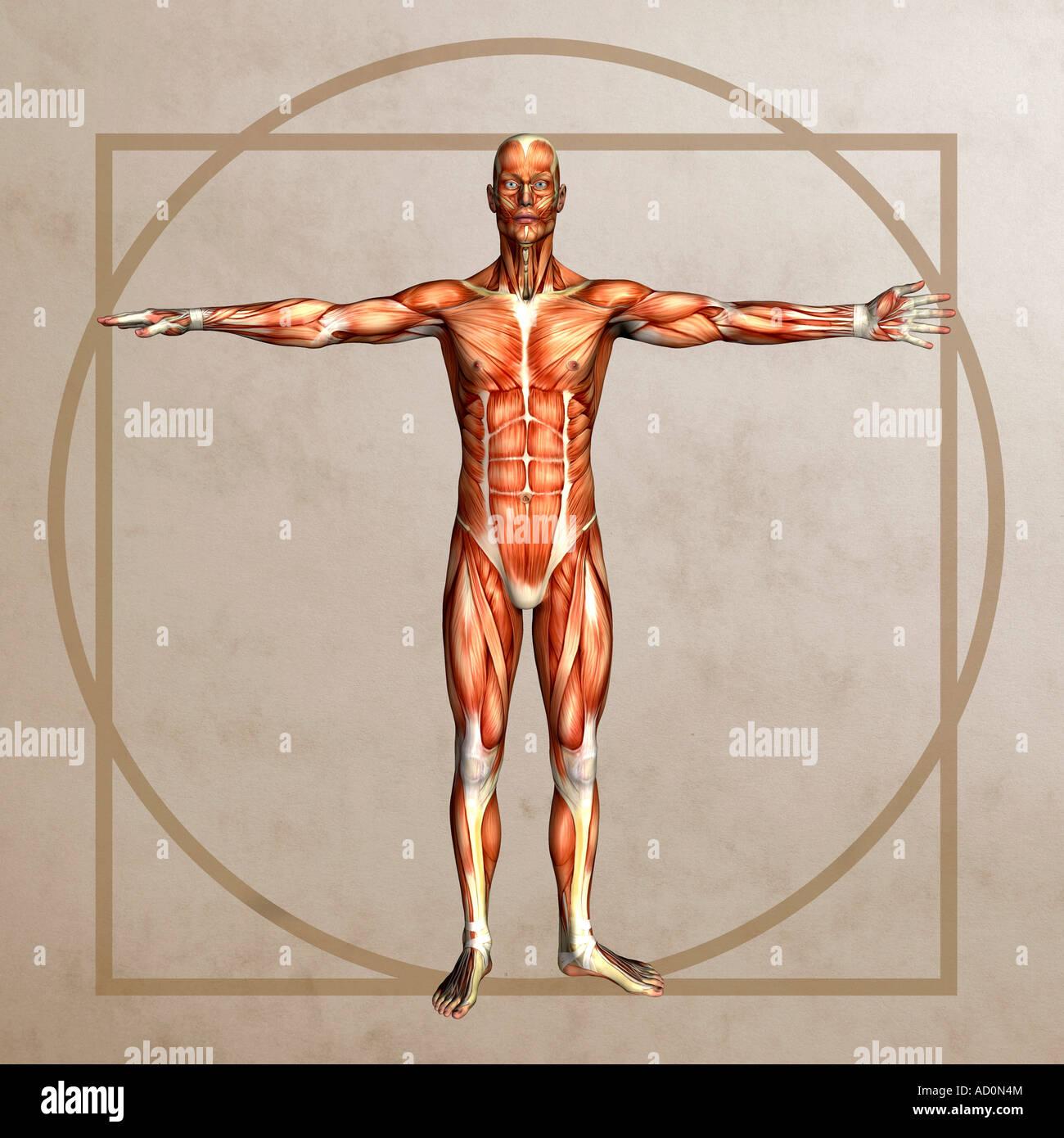 Vitruvian Man Muscles Stock Photos Vitruvian Man Muscles Stock