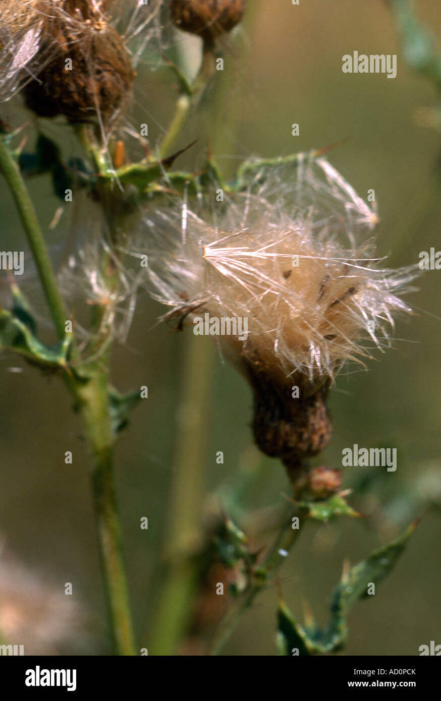 Spear Thistle In Seed - Stock Image