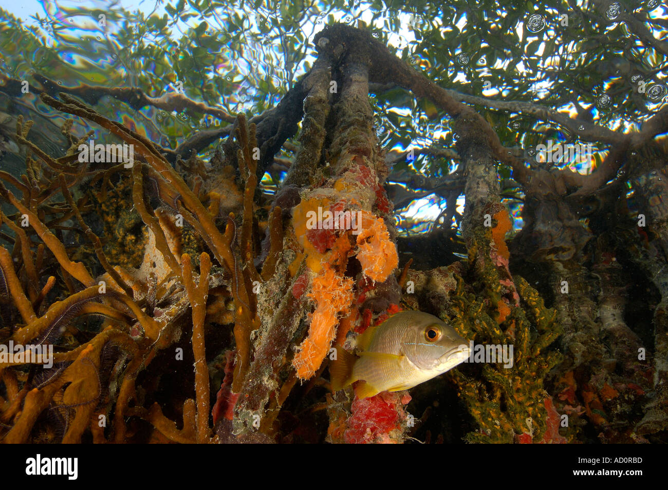 Underwater scene of mangrove roots Tunicate Cove Belize - Stock Image