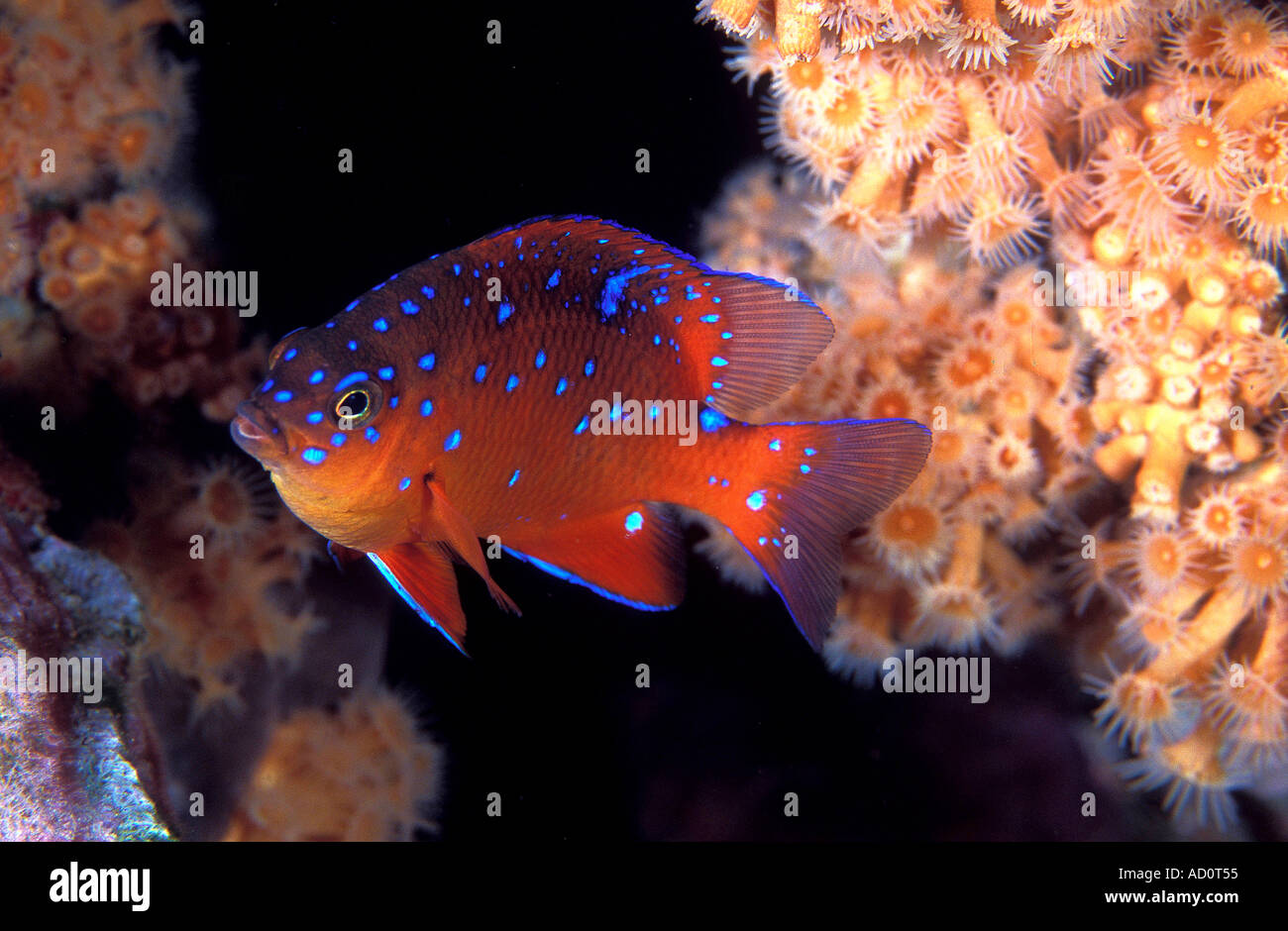Juvenile garibaldi Hypsypops rubicundus Catalina Island California USA Stock Photo