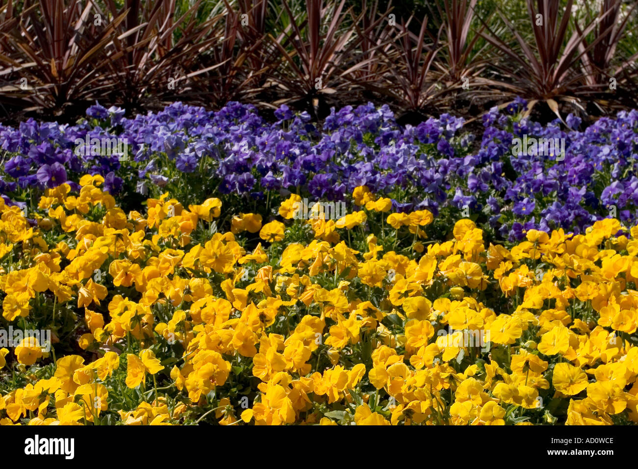 Yellow And Purple Flower Bed Stock Photo 4331981 Alamy