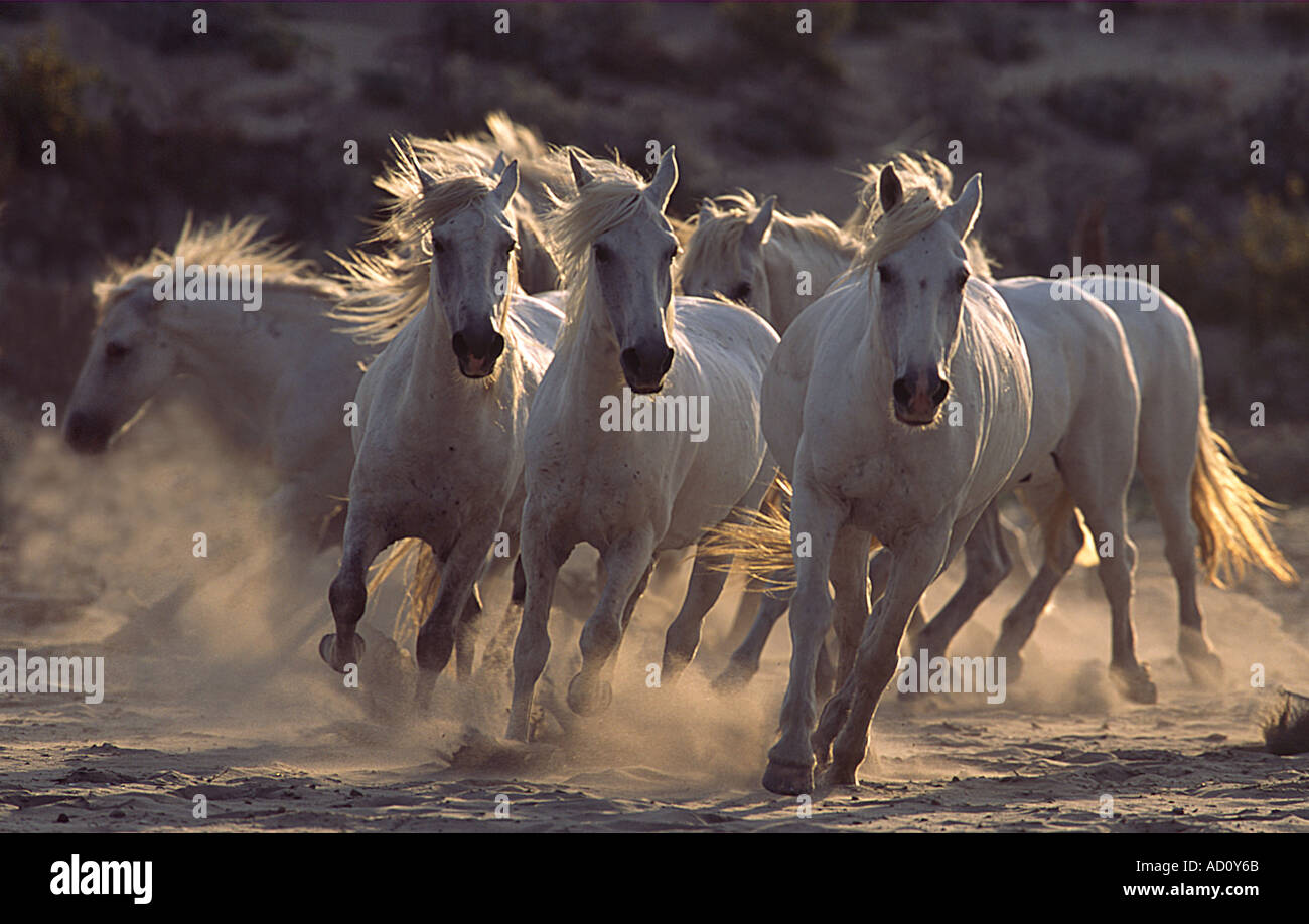 Wild Horses On Beach High Resolution Stock Photography And Images Alamy