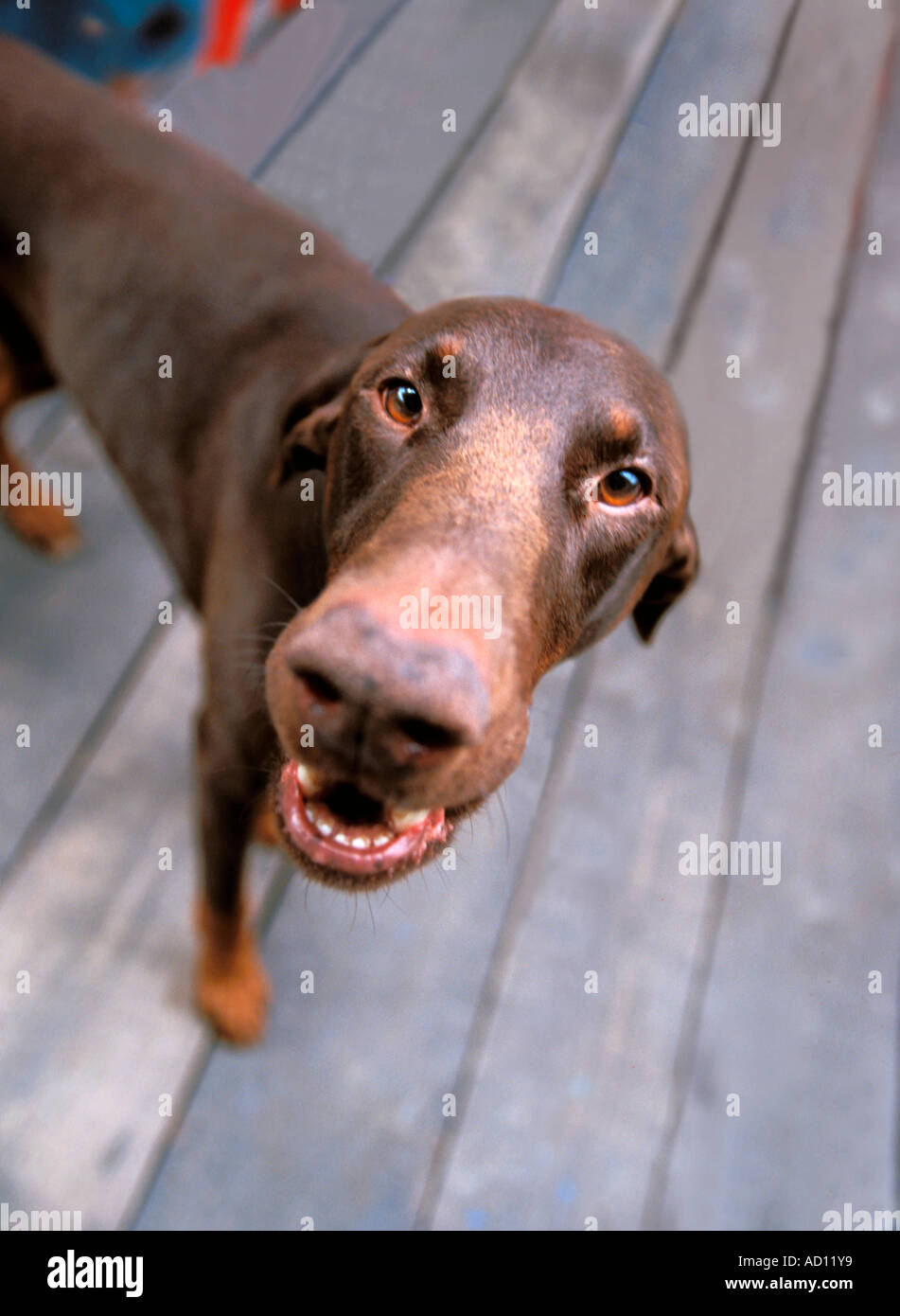 Dobermann dog standing from top - Stock Image