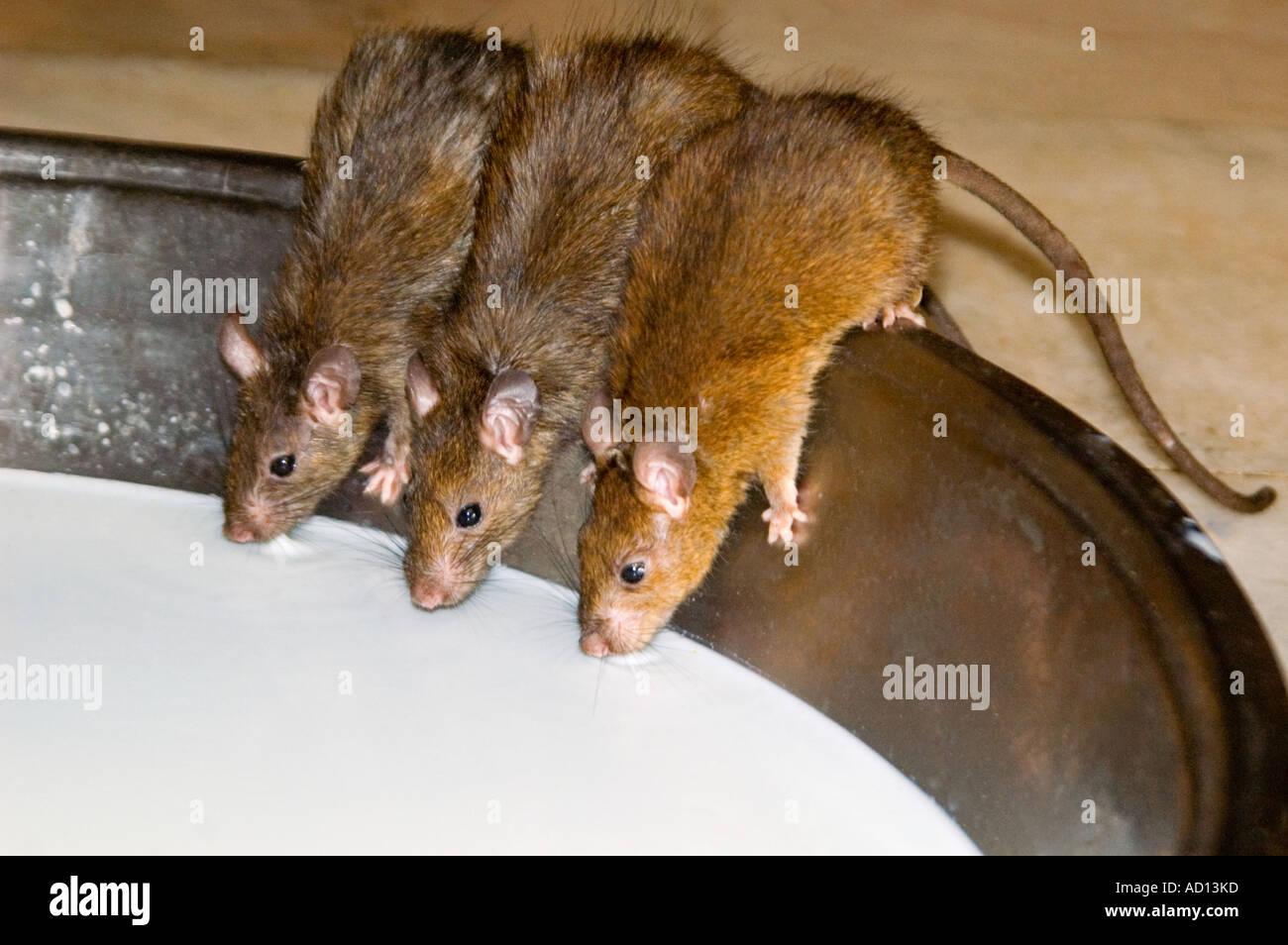 Com rat www 3 MOM Old