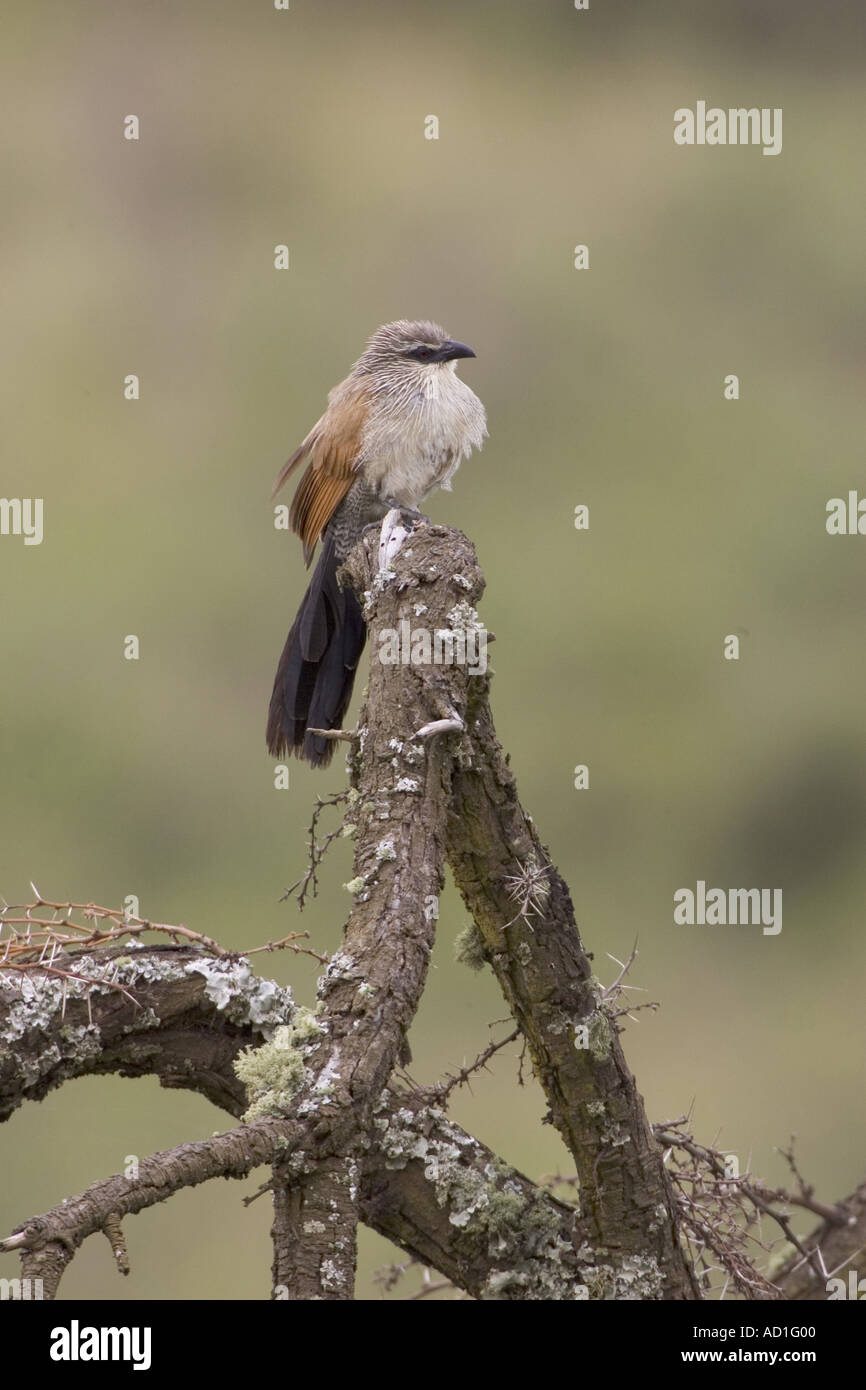 White browed Coucal Ngorongoro Crater Tanzania Centropus supercillosus Perched - Stock Image