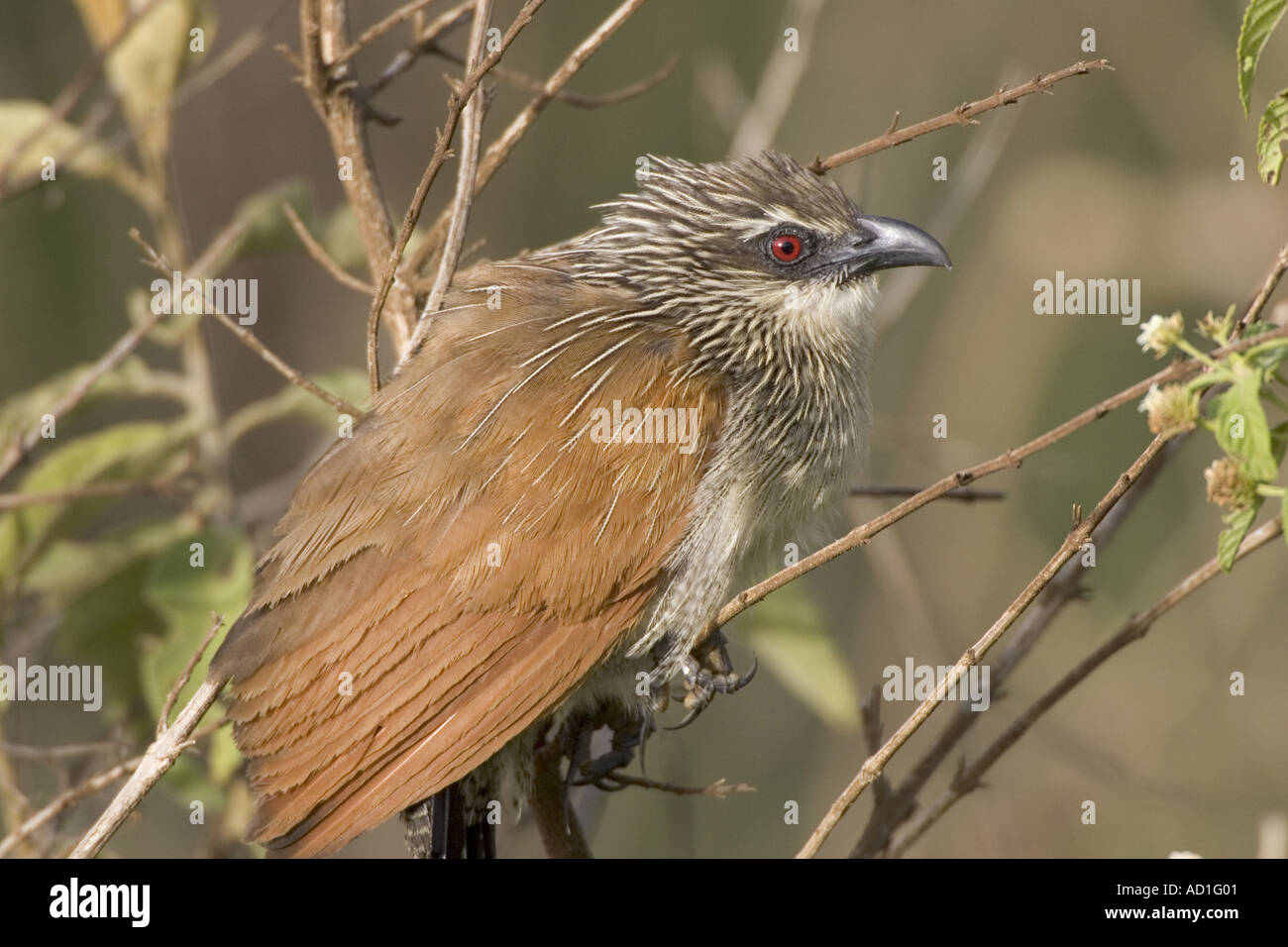 White browed Coucal Ngorongoro Crater Tanzania Centropus supercillosus calling - Stock Image