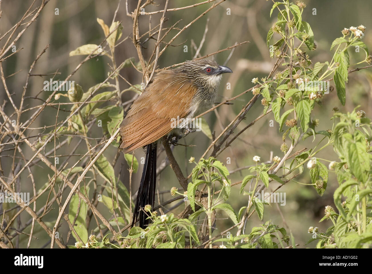 White browed Coucal Ngorongoro Crater Tanzania Centropus supercillosus - Stock Image