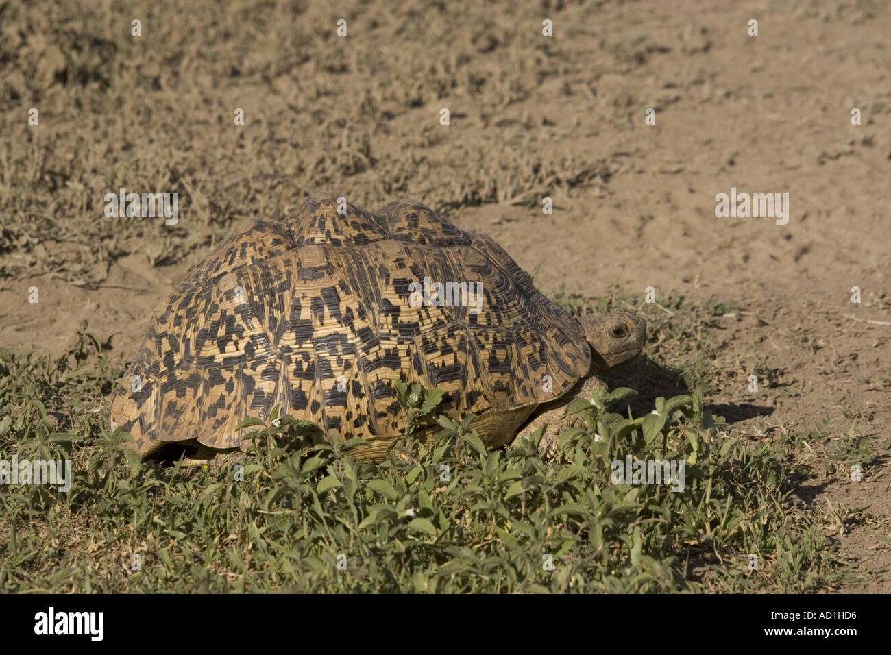 Leopard Tortoise Tanzania Africa Geochelone pardalis Testudo pardalis - Stock Image