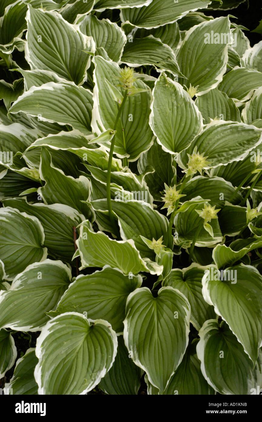 Curled Leaf Hosta Hostaceae Hosta Crispula Stock Photo 7585690 Alamy