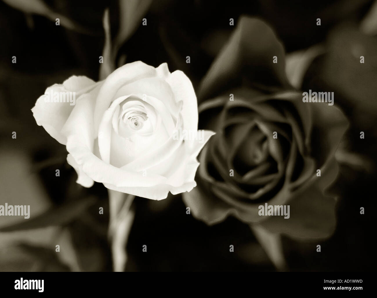 387181ca6 black and white image of two roses Stock Photo: 7586908 - Alamy