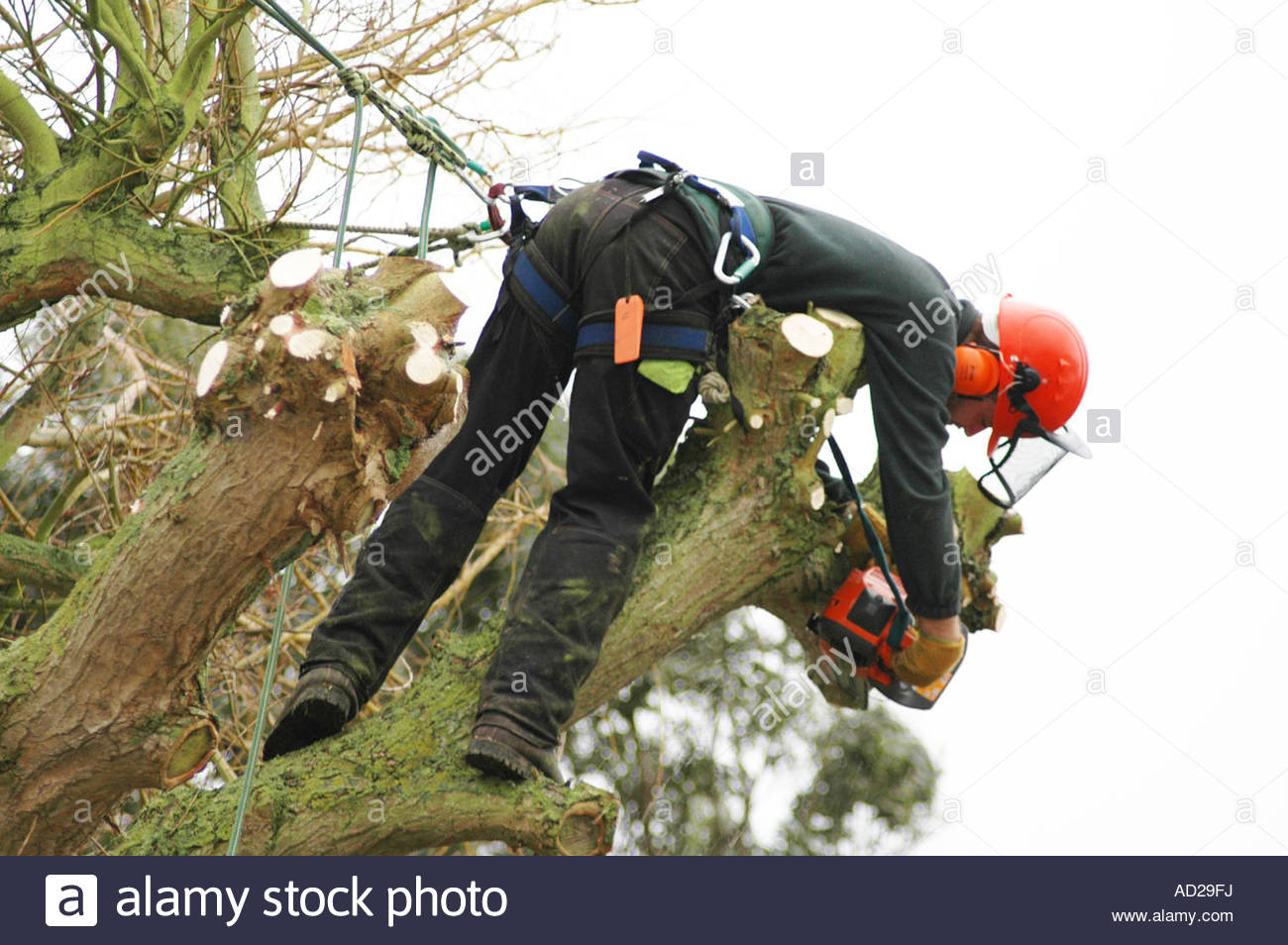 Tree surgeon, with chainsaw, leaning over in Weeping Willow tree Salix x chrysocoma Tristis January England Stock Photo
