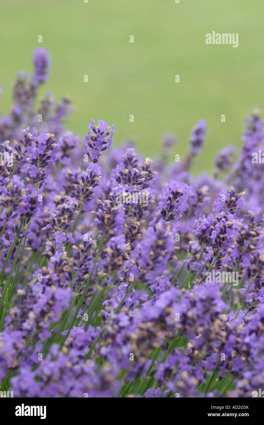 Lavender, Fletching, Sussex, June, 2007 - Stock Image