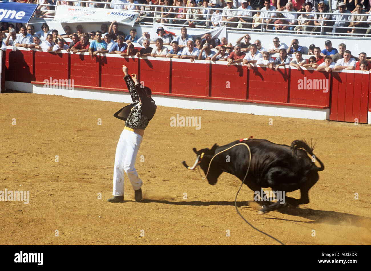 Course Landaise, a form of bloodless bullfighting where young men in boleros face frisky cows, is popular in southwest Stock Photo