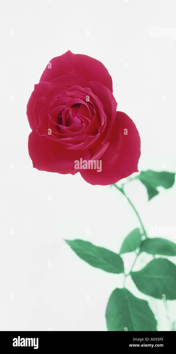 Single Red Rose With Stem Studio Still Life With White Background - Stock Image