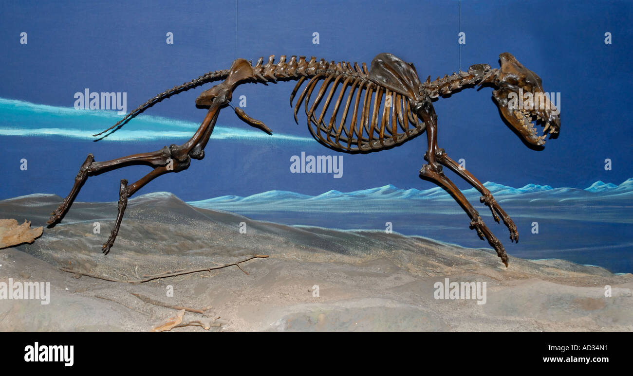 Preserved Dire Wolf, Canis dirus, skeleton from La Brea Tar Pits, Page Museum, Los Angeles - Stock Image