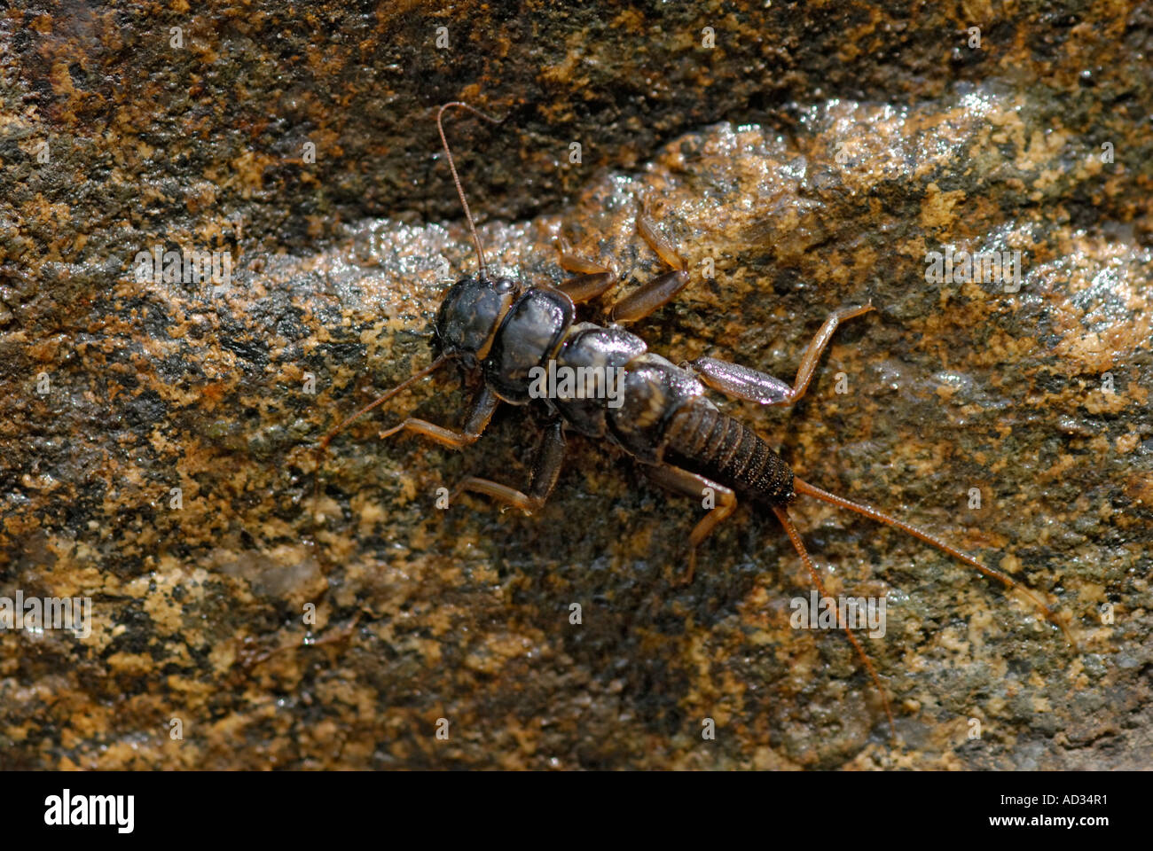 Stonefly, order Plecoptera, nymph on underside of rock from a stream Stock Photo
