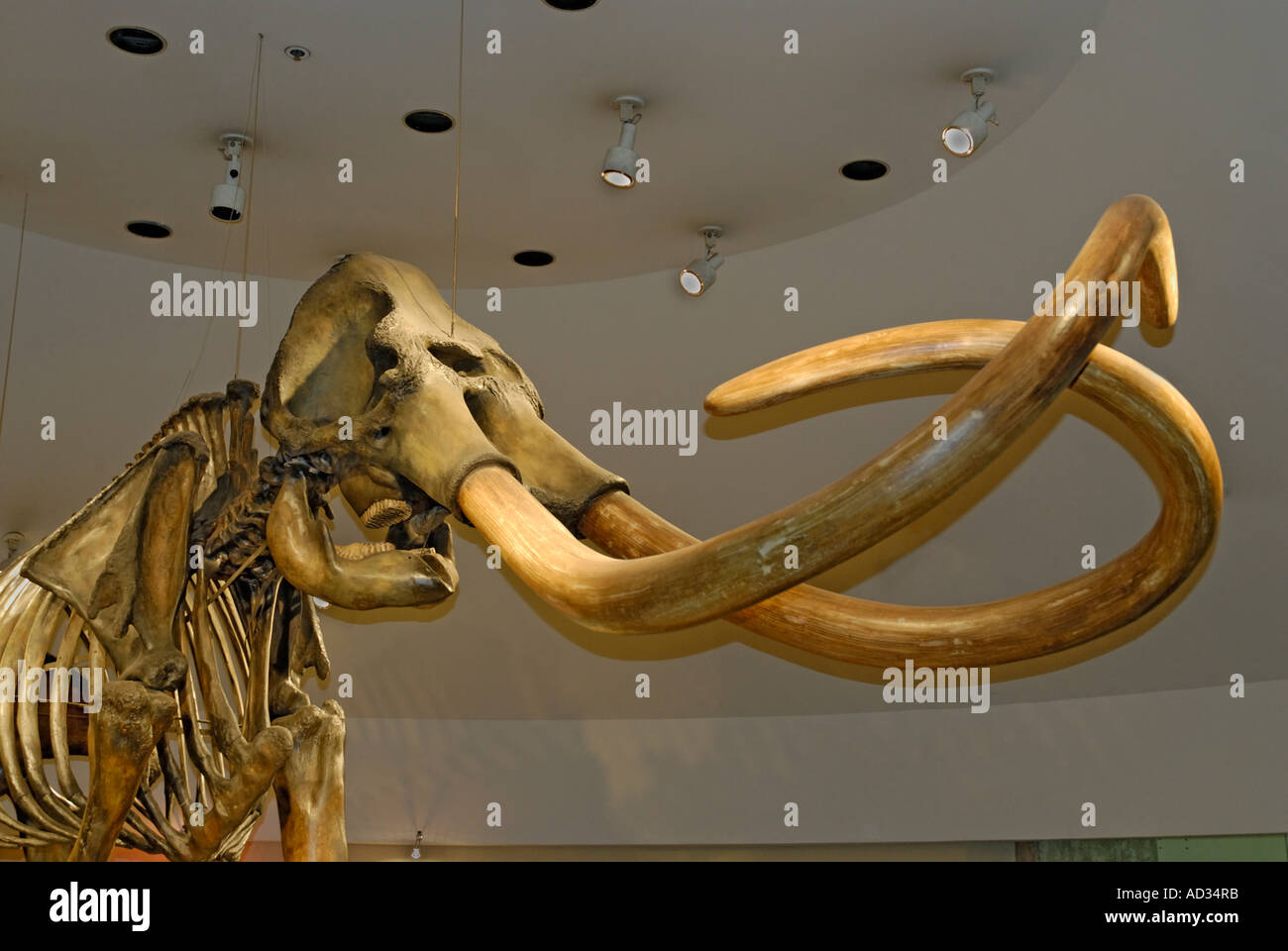 Columbian Mammoth, Mammuthus columbi, prehistoric skeleton with tusks from La Brea Tar Pits, Page Museum - Stock Image