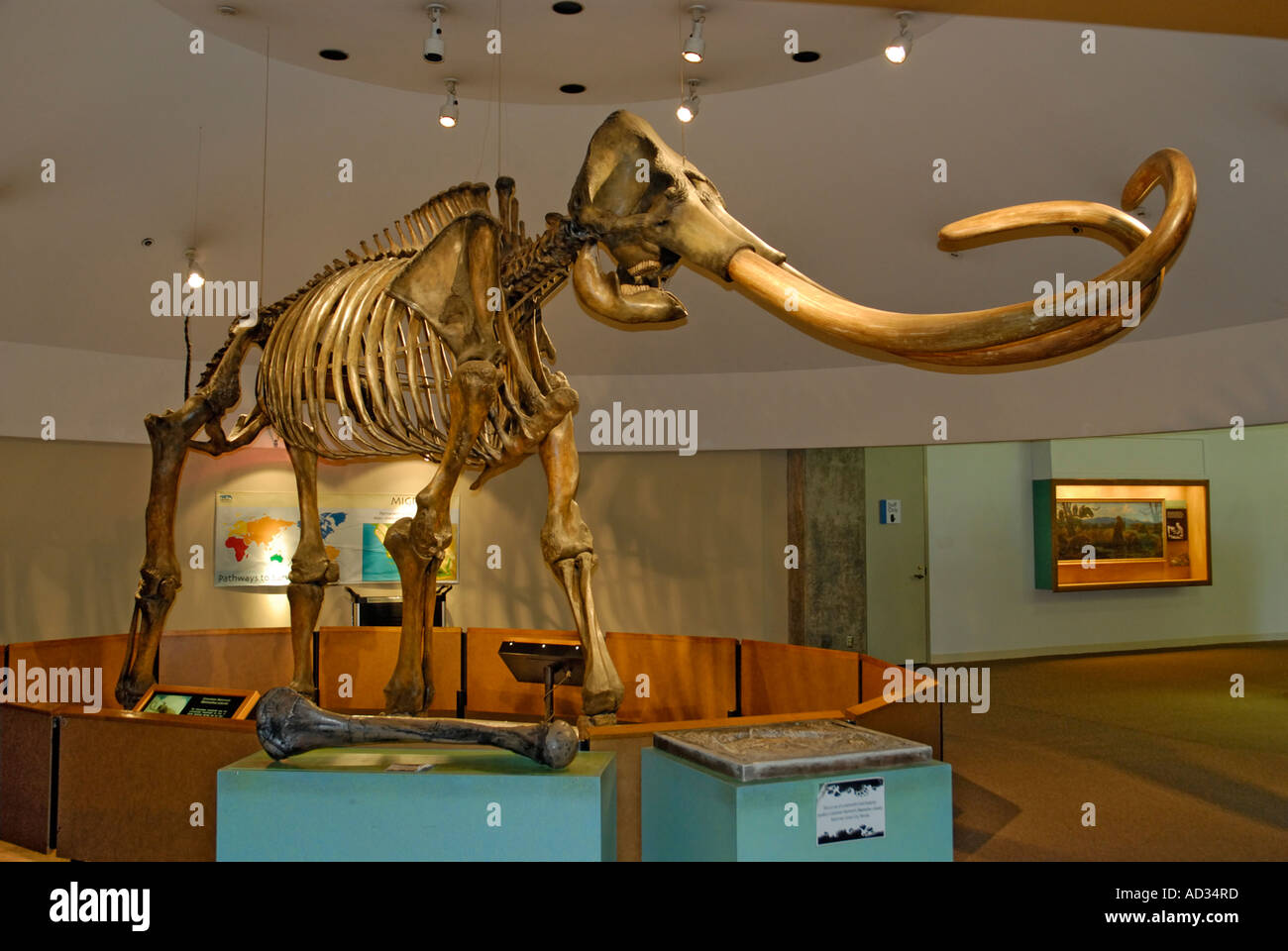 Columbian Mammoth, Mammuthus columbi, skeleton with tusks from La Brea Tar Pits, Page Museum, Los Angeles - Stock Image