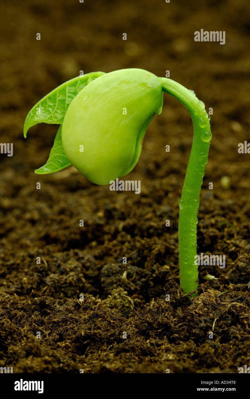 Lima bean, Phaseolus lunatus, seedling sprouting in dark soil - Stock Image