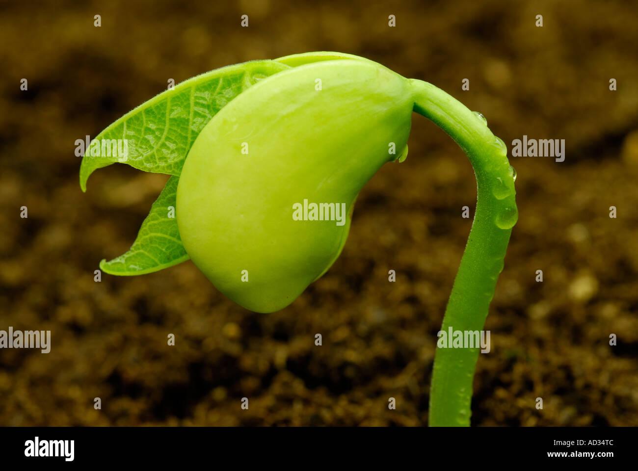 Lima bean, Phaseolus lunatus, seedling sprouting in soil - Stock Image