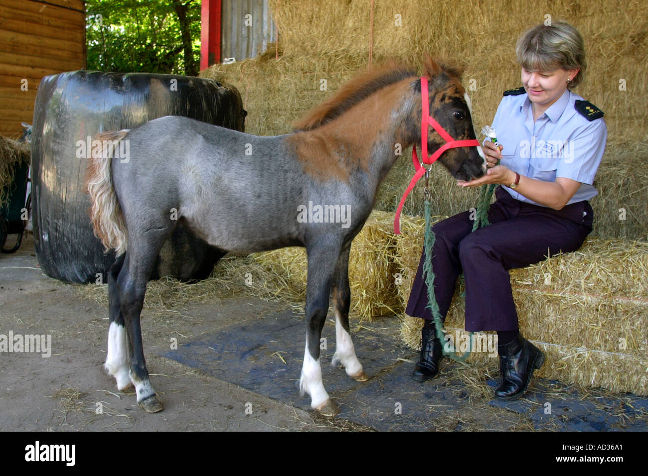 RSPCA inspector with a healthy fold which was found next to it's dead mother on a remote hillside in South Wales UK - Stock Image