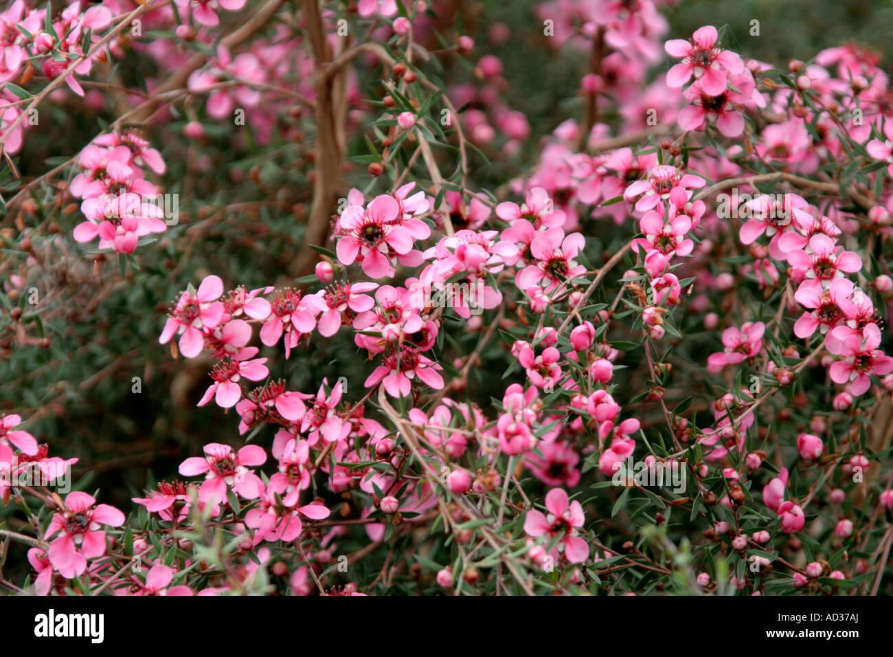 Leptospermum scoparium Nichollsii during May - Stock Image