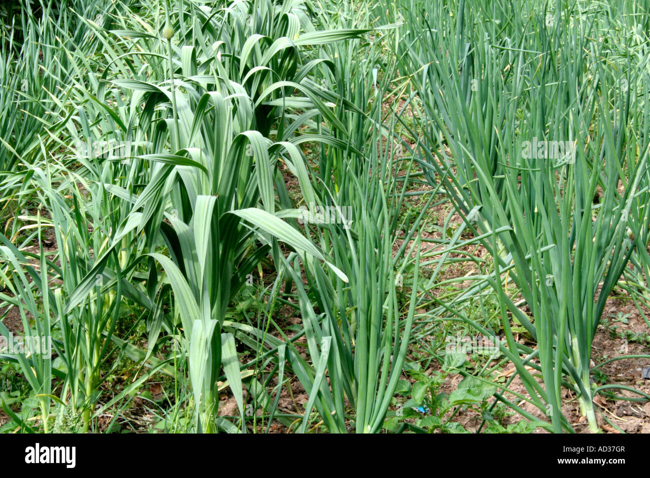 Intercropping autumn onions with garlic and elephant garlic Allium Ampeloprasum - Stock Image