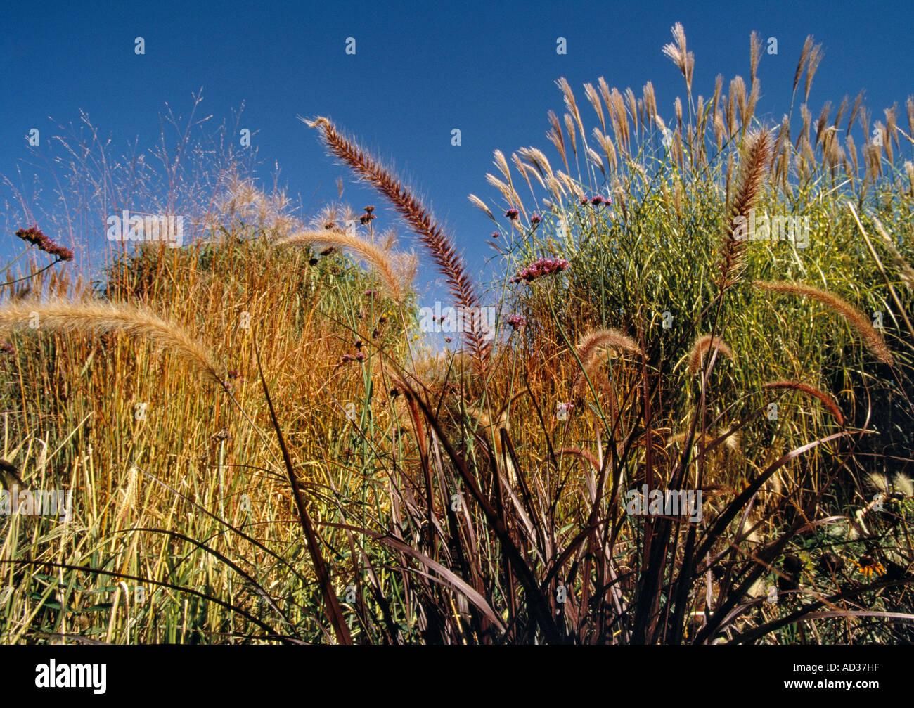 Ornamental grasses growning in the Denver Botanic Gardens in Denver ...