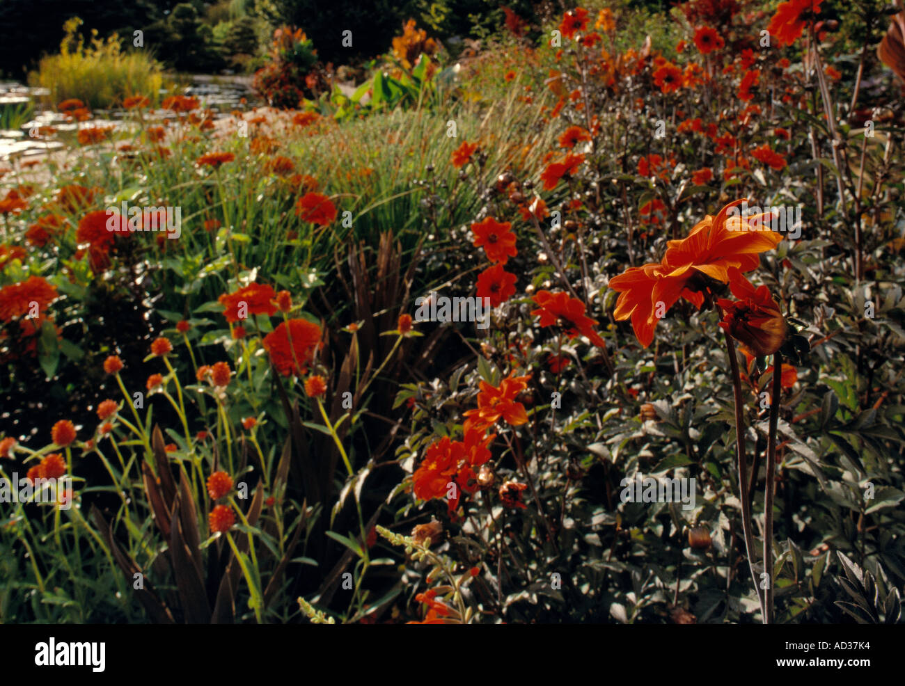Red flowers bloom is a garden at the Denver Botanic Gardens Stock ...