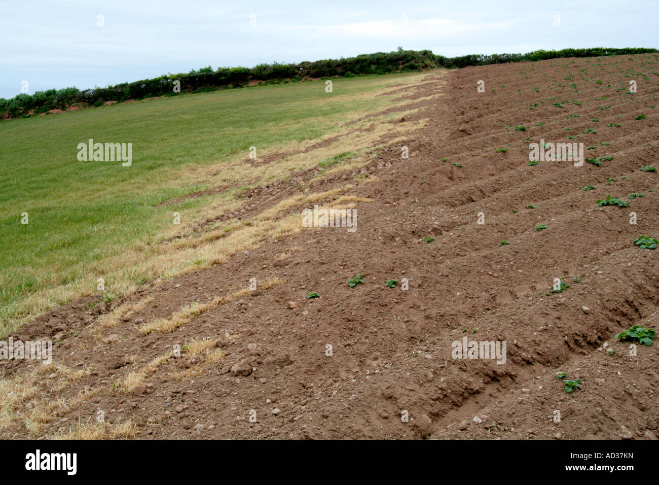 Herbicide spray drift used on the emerging potato crop damages an adjacent grass crop - Stock Image