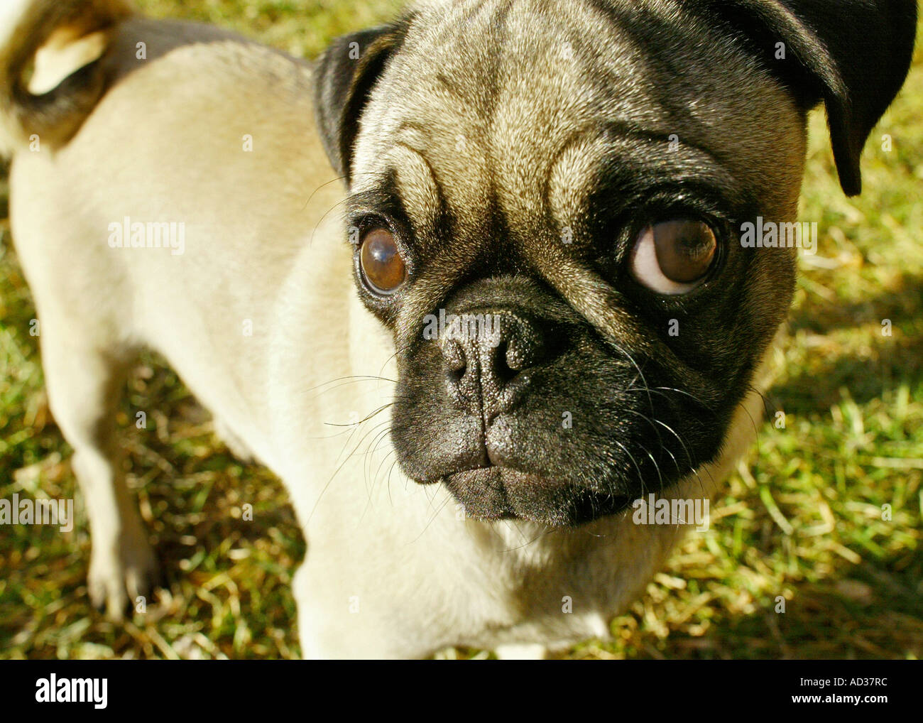Close up of pug dog. - Stock Image