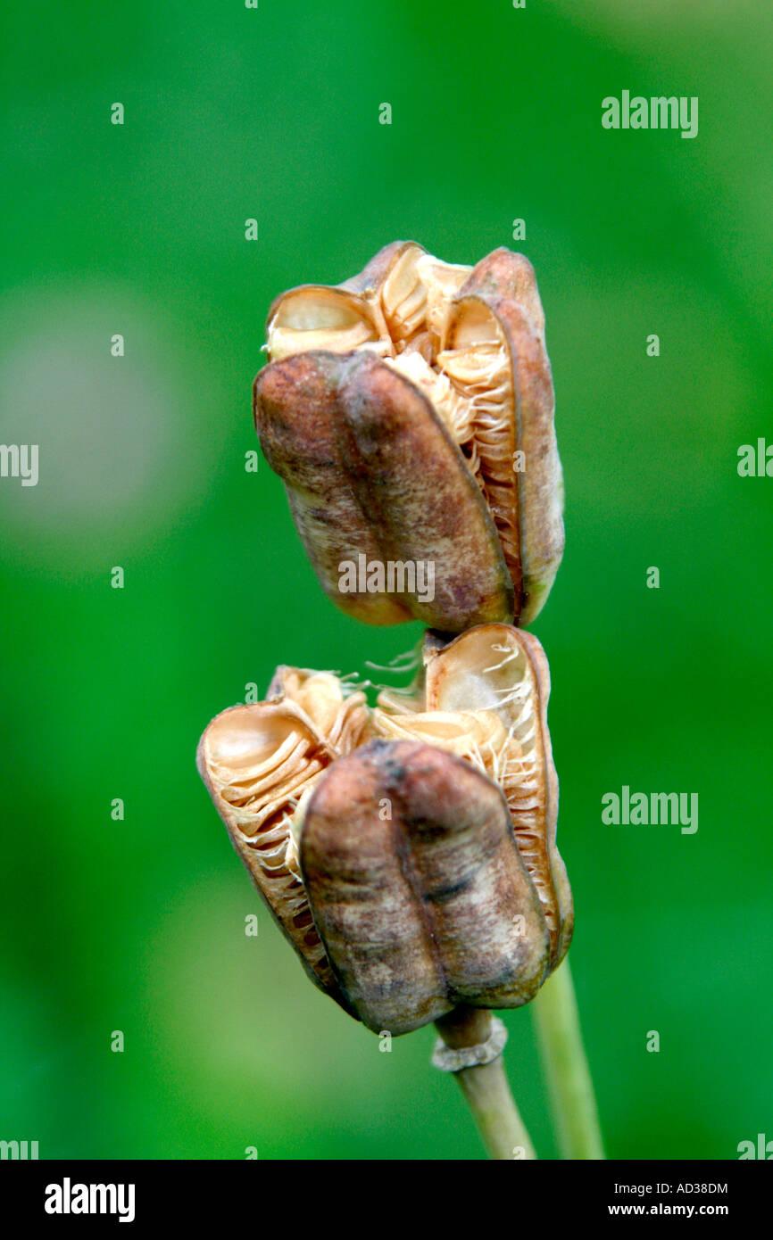 Seedhead of Fritillaria meleagris - Stock Image
