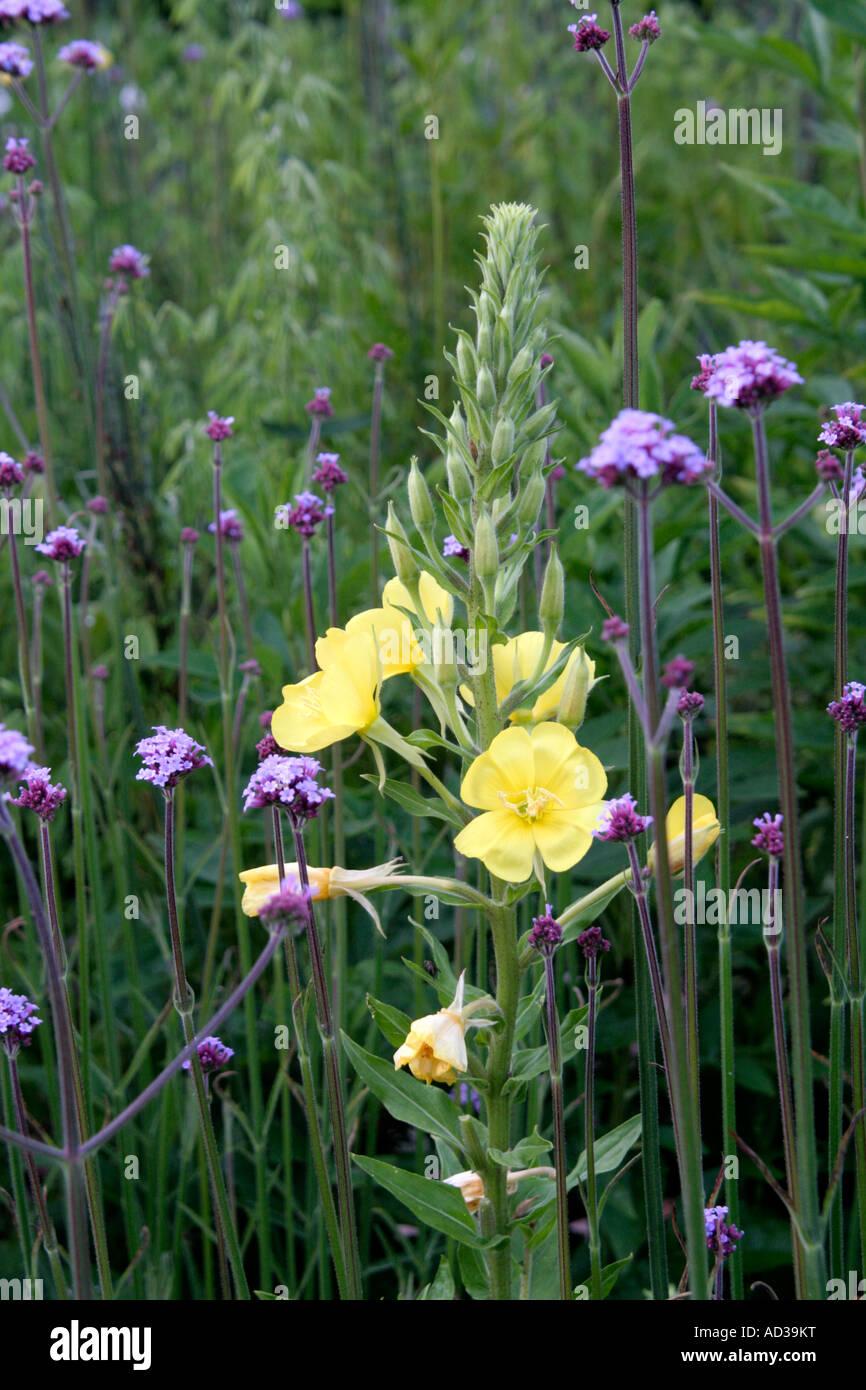 Verbena bonariensis and Oenothera glazoviana on a summers evening - Stock Image