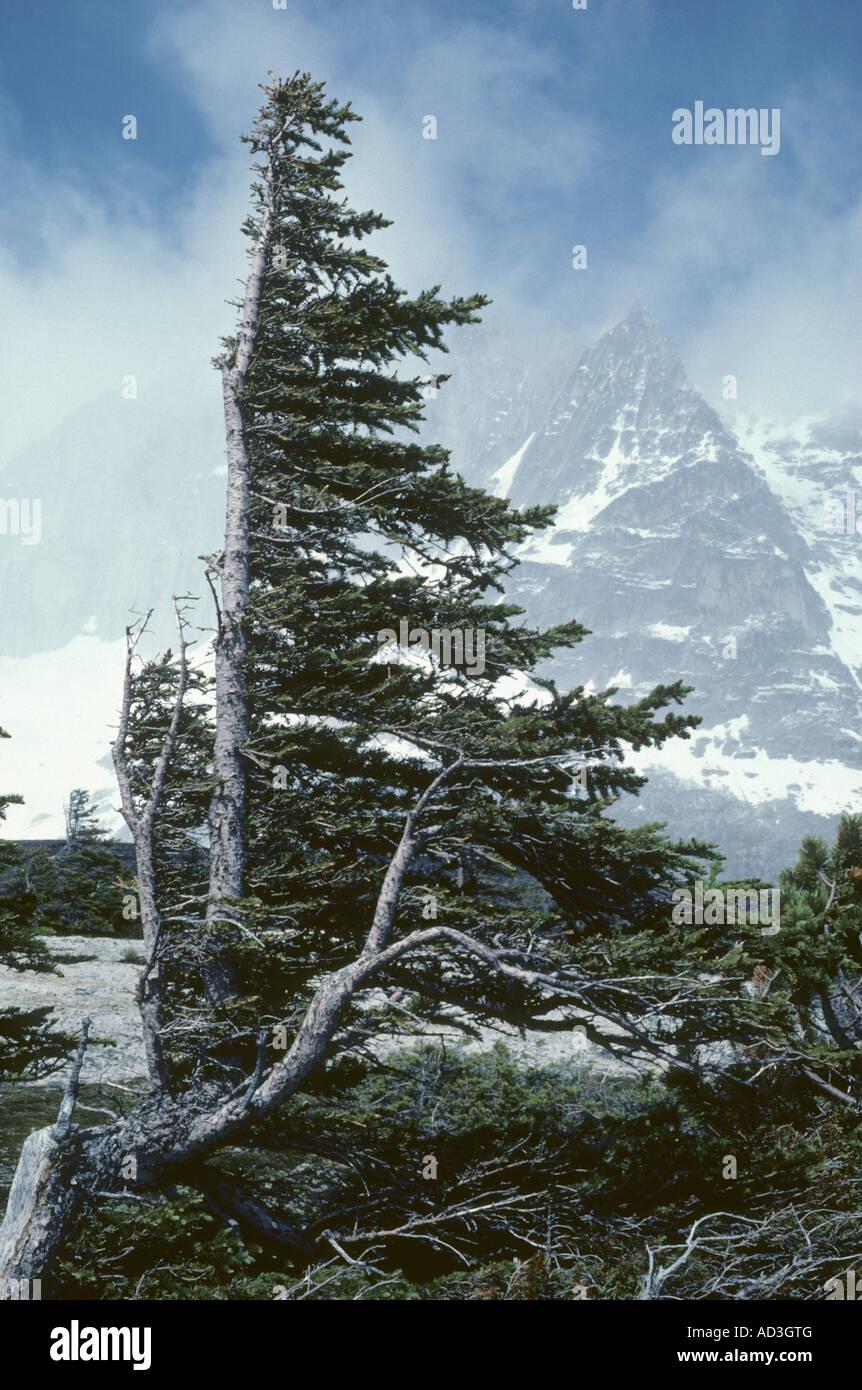 Wind Flagged alpine trees, Bugaboo Range, Rocky Mountains, Canada Stock Photo