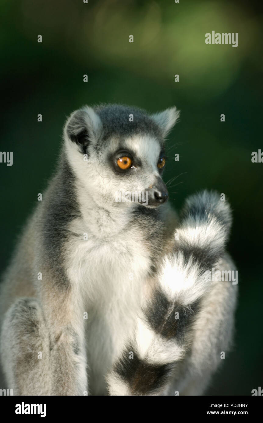 Ring tailed Lemur (Lemur catta) Berenty Reserve Madagascar - Stock Image