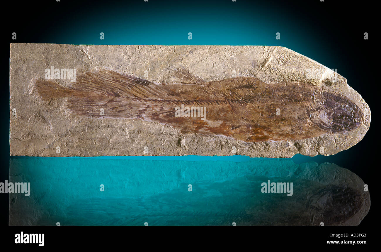 Coelacanth Fossil Cardiosuctor populosum Upper Mississippian Montana - Stock Image