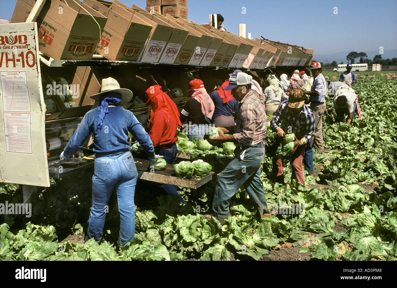 Migrant Laborers Picking Lettuce San Jaquin Valley California - Stock Image