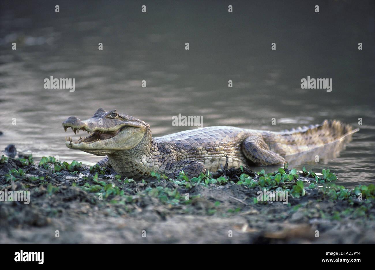 Spectacled Caiman Caiman crocodilus Venezuela - Stock Image