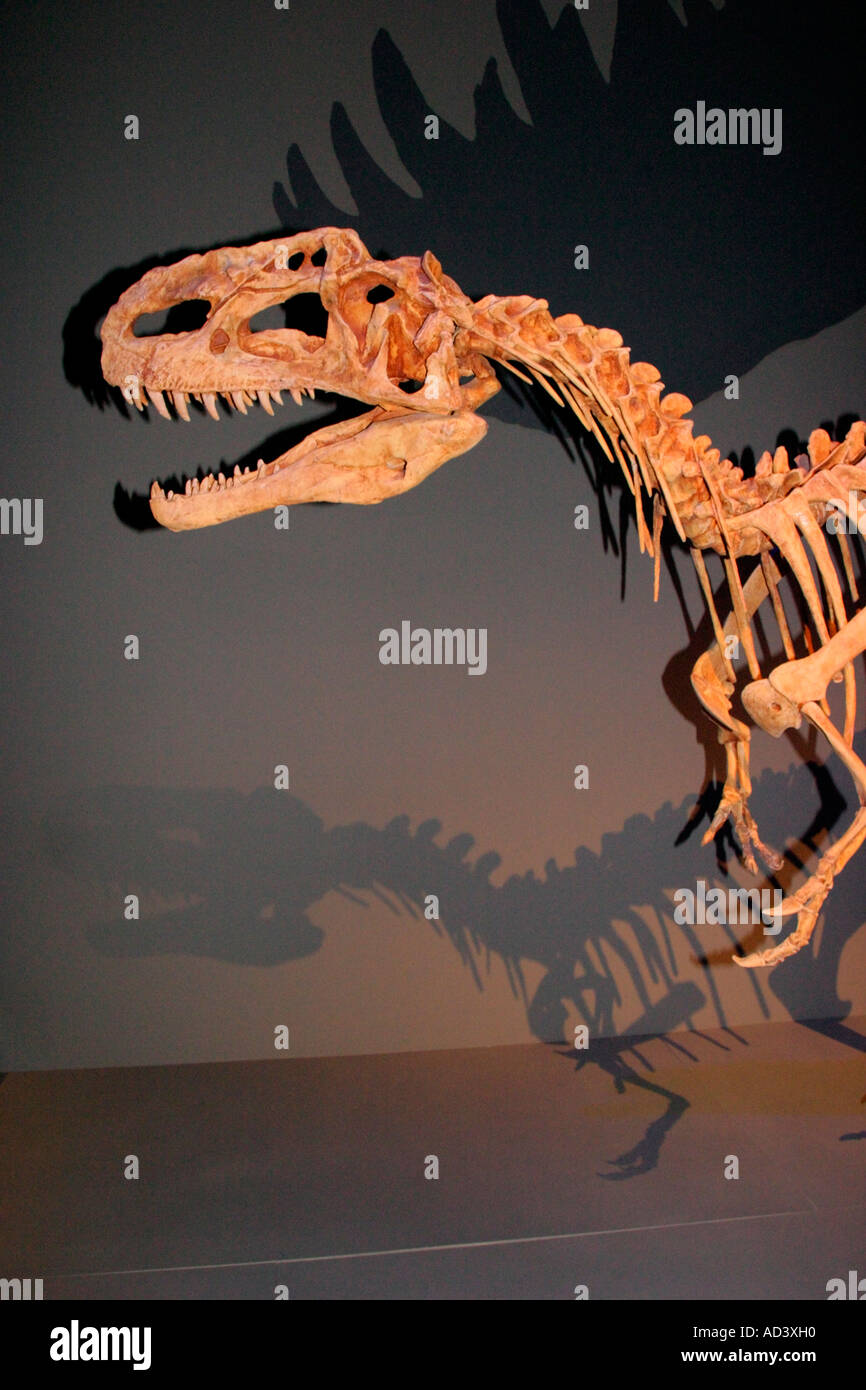 Lifesize replicat of skeletal structure of Monolophosaurus Dongi dinosaur. - Stock Image