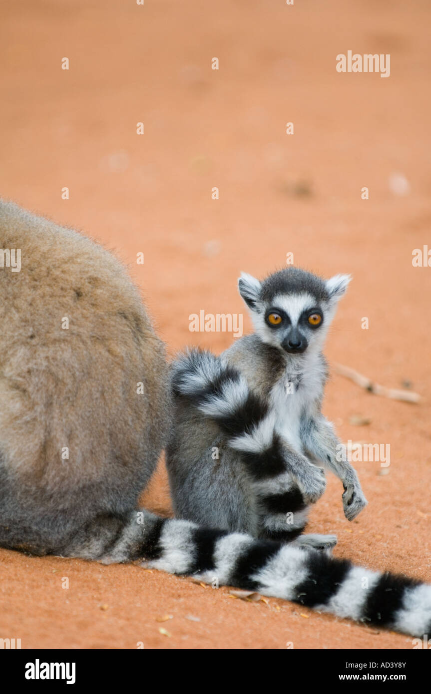 Ring tailed Lemur (Lemur catta) baby and mother, Berenty Reserve, Madagascar - Stock Image